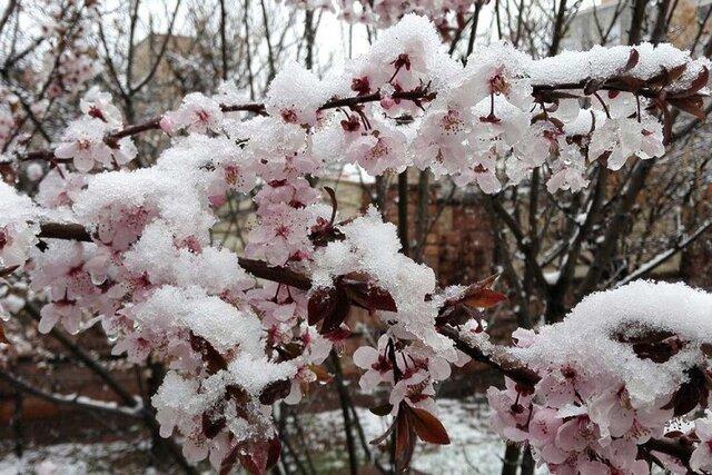 برف و سرما بیش از 37 میلیارد تومان به بخش کشاورزی خراسان شمالی خسارت وارد کرد